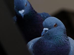 鳩イメージ