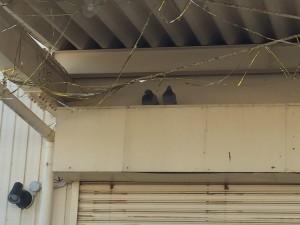 鳩清掃状況