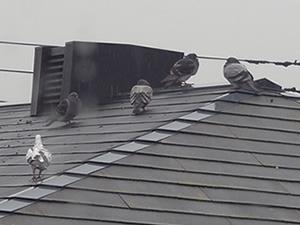 屋根 鳩イメージ