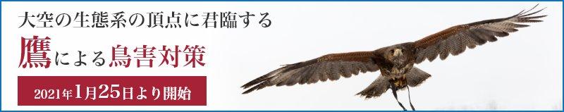 大空の生態系の頂点に君臨する鷹による鳥害対策