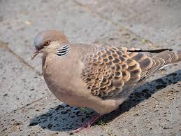 日本鳩対策センターブログ始めました! 第一回目は【鳩の種類 ...
