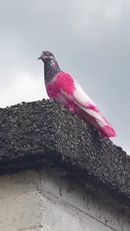 ピンクの鳩
